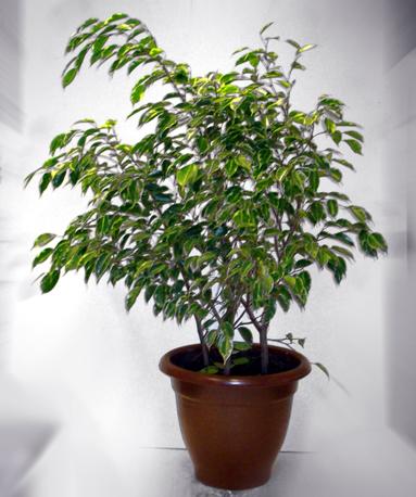 Ficus Grande